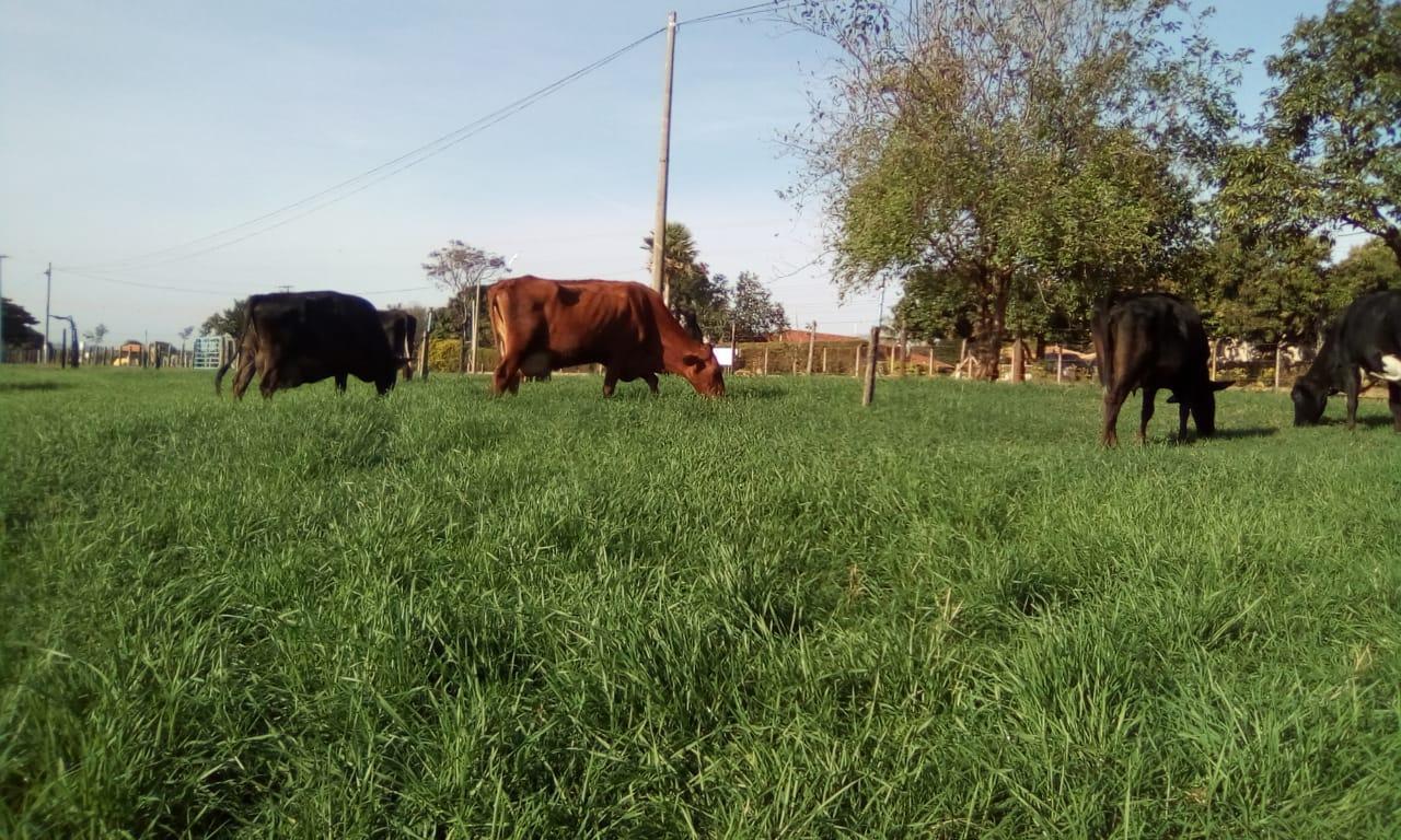 Vacas pastejando após 30 dias de semeado