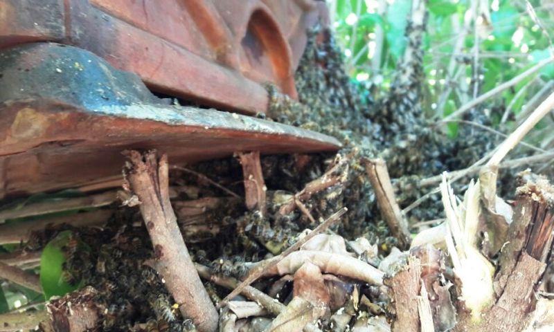 Prefeitura retira família de 5 mil abelhas de área pública